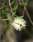 Fiore indigeno australiano del Bottlebrush, color crema Immagini Stock