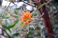 """Fiore indigeno australiano, Grevillea """"incandescenza dell'albicocca """"vicino su fotografie stock"""