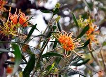 """Fiore indigeno australiano, Grevillea """"incandescenza dell'albicocca """"vicino su immagine stock libera da diritti"""