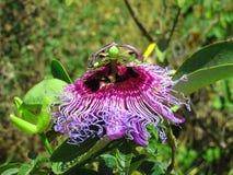 Fiore indigeno di cincinnata della passiflora del frutto della passione in Bahia, Brasile fotografia stock