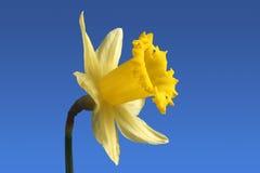 Fiore inglese del daffodil. Immagini Stock