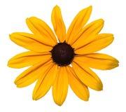 Fiore isolato Fotografia Stock