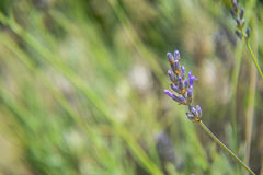Fiore isolato del fiore della lavanda fotografia stock libera da diritti