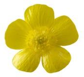 Fiore isolato del ranuncolo immagini stock libere da diritti