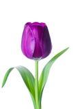 Fiore isolato del tulipano Fotografia Stock