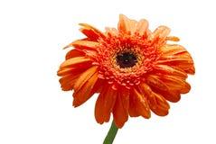 Fiore isolato della margherita arancione fotografia stock libera da diritti