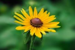 Fiore isolato della margherita nel campo Immagine Stock Libera da Diritti