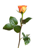 Fiore isolato della rosa di giallo e di rosso Fotografie Stock Libere da Diritti