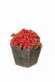 Fiore isolato in POT Fotografia Stock