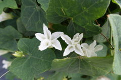 Fiore Ivy Gourd o Cocciniagrandis immagini stock