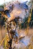 Fiore lanuginoso al tramonto fotografia stock libera da diritti