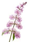 Fiore lilla Immagini Stock