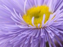 Fiore lilla. Fotografie Stock Libere da Diritti