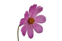 Fiore lilla Immagine Stock Libera da Diritti