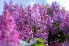 Fiore lilla Con il fondo del cielo Immagine Stock