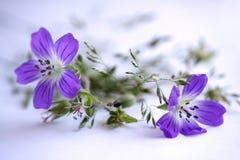 Fiore lilla del campo Fotografie Stock Libere da Diritti