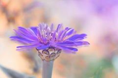 Fiore lilla del cynia di un su un fondo delicato colorato multi Immagine artistica di un fiore con i doppi petali Immagine Stock Libera da Diritti