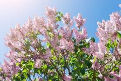 Fiore lilla della molla dell'albero, ramo con il primo piano dei fiori Fotografia Stock Libera da Diritti