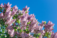Fiore lilla della molla dell'albero, ramo con il primo piano dei fiori Fotografia Stock