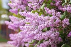 Fiore lilla nella scena di primavera Fiori lilla di fioritura della primavera Fiori lilla immagine stock libera da diritti