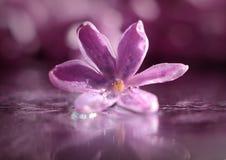 Fiore lilla nelle gocce di rugiada Fotografia Stock Libera da Diritti