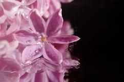 Fiore lilla nelle gocce di rugiada Immagine Stock