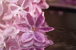 Fiore lilla nelle gocce di rugiada Fotografie Stock