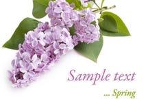 Fiore lilla su bianco Fotografie Stock Libere da Diritti