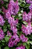 Fiore lilla verticale Con fondo verde Immagine Stock Libera da Diritti