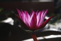 Fiore Lotus Immagine Stock