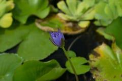 Fiore Lotus Fotografia Stock