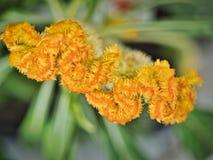 Fiore luccicante giallo brillante riccio speciale in piena fioritura, estate fotografia stock libera da diritti
