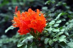 Fiore luminoso dal Brasile Fotografia Stock Libera da Diritti