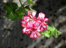 Fiore luminoso del geranio contro un albero di corteccia Immagini Stock