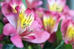 Fiore luminoso della fine di alstroemeria su Fotografie Stock Libere da Diritti
