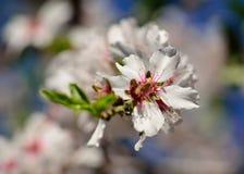 Fiore luminoso della mandorla Fotografia Stock
