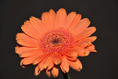 Fiore luminoso della margherita Fotografia Stock