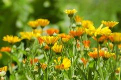 Fiore luminoso della primavera dei fiori della calendula Fotografia Stock Libera da Diritti