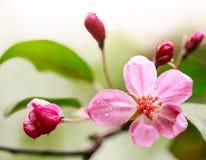 Fiore luminoso-dentellare della mela della sorgente Immagini Stock Libere da Diritti