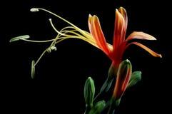 Fiore lungo del coregone lavarello fotografia stock libera da diritti