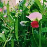 Fiore lungo del fagiolo Immagini Stock Libere da Diritti