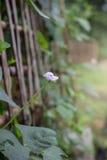Fiore lungo del fagiolo Fotografia Stock Libera da Diritti