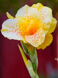 Fiore macchiato giallo Fotografia Stock