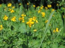 Fiore, macro, natura, fiore giallo fotografia stock libera da diritti