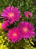 Fiore magenta intenso Fotografia Stock