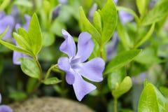 Fiore magico nel giardino Immagini Stock