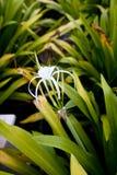 Fiore malese del giglio del ragno Fotografie Stock