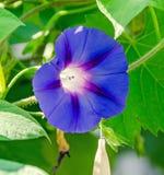Fiore malva e rosa di purpurea dell'ipomoea, l'ipomea porpora, alta, o comune, fine su Immagini Stock