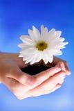 Fiore in mani Immagine Stock