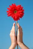 Fiore in mani Fotografie Stock Libere da Diritti